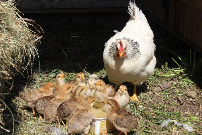 Hühner auf dem Algehof